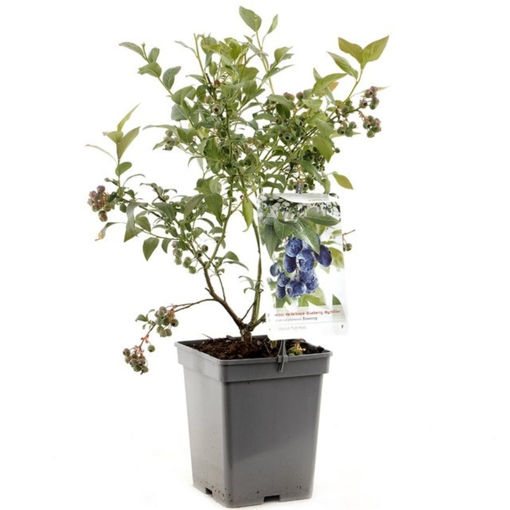 Vaccinium corymbosum 'Bluecrop' (Amerikaanse Bosbes)