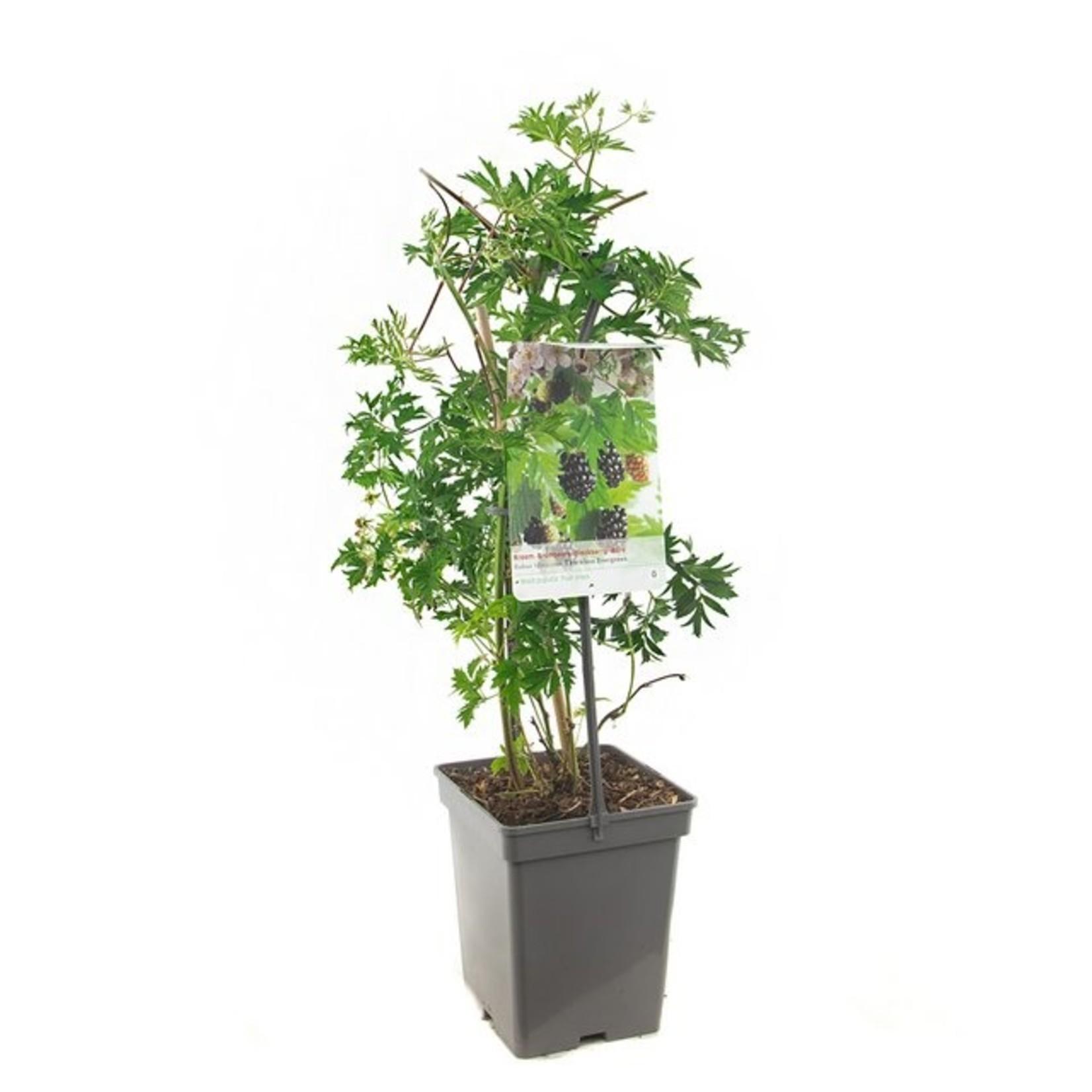 Rubus fruticosus 'Thornless Evergreen (Doornloze Braam)