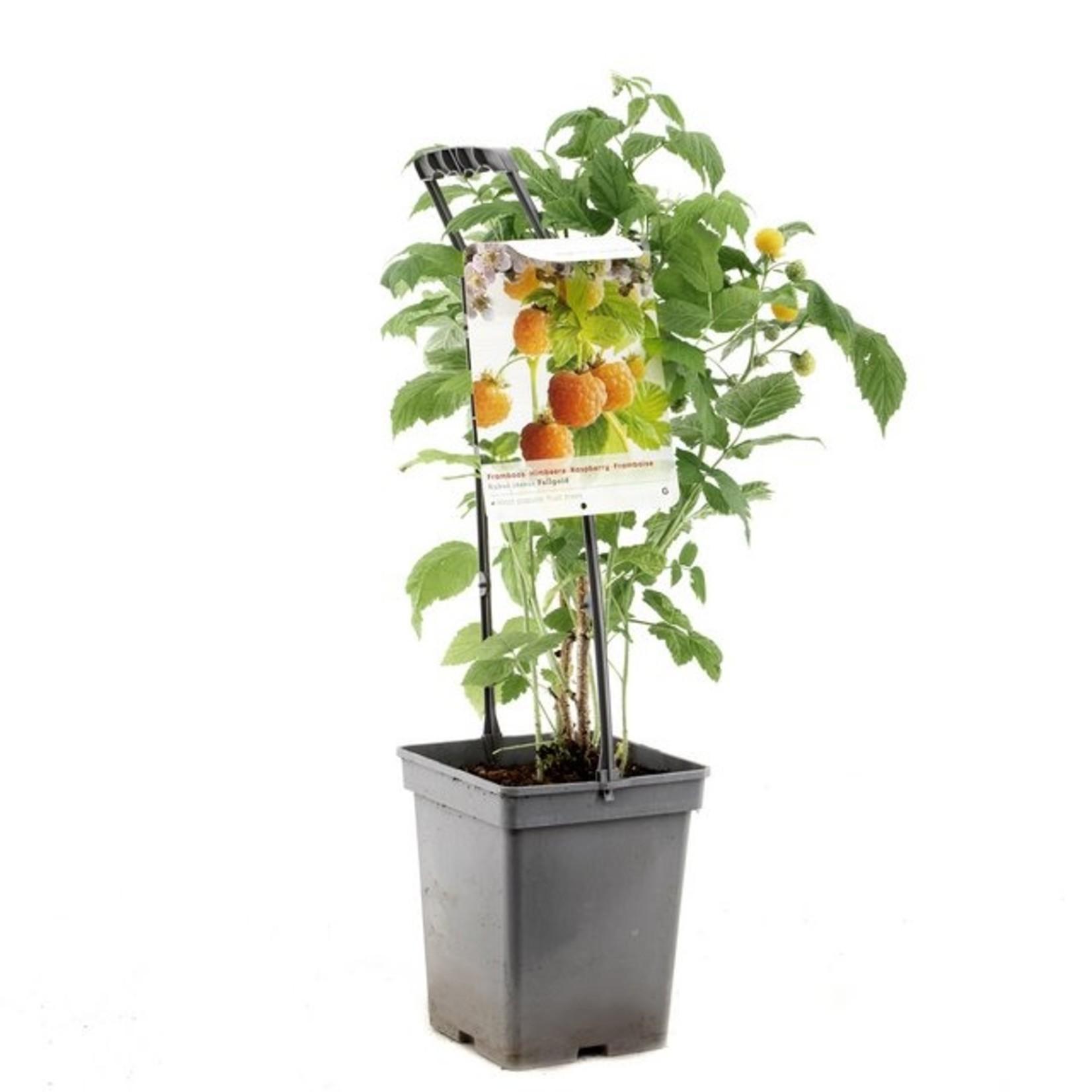 Rubus idaeus 'Fallgold' (Gele framboos)