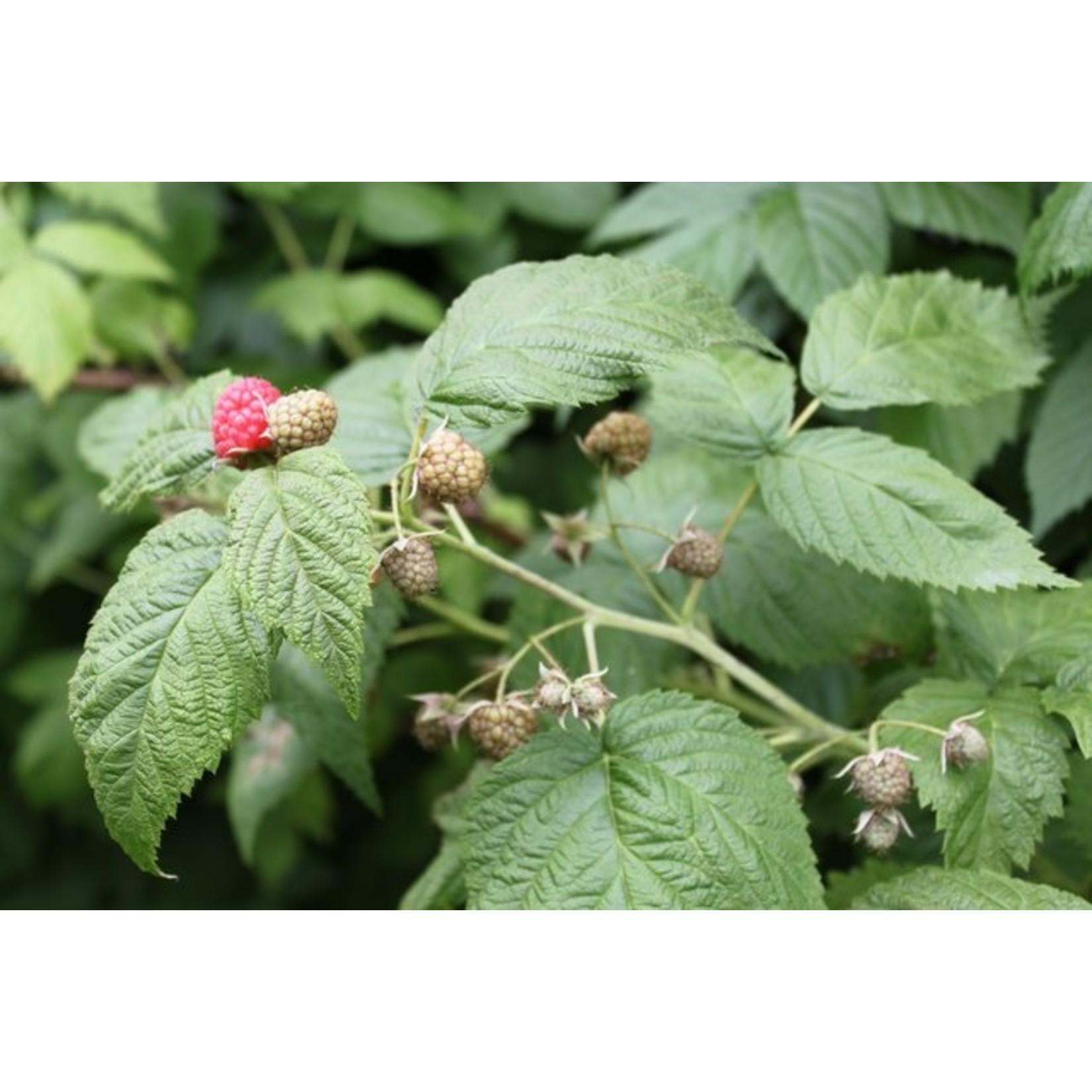 Rubus idaeus 'Glen Ample' (Zomerframboos)