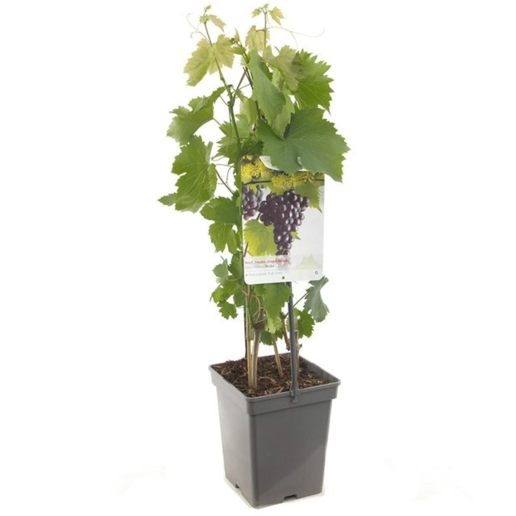 Vitis vinifera 'Heike' (Pitloze blauw/rode druif)