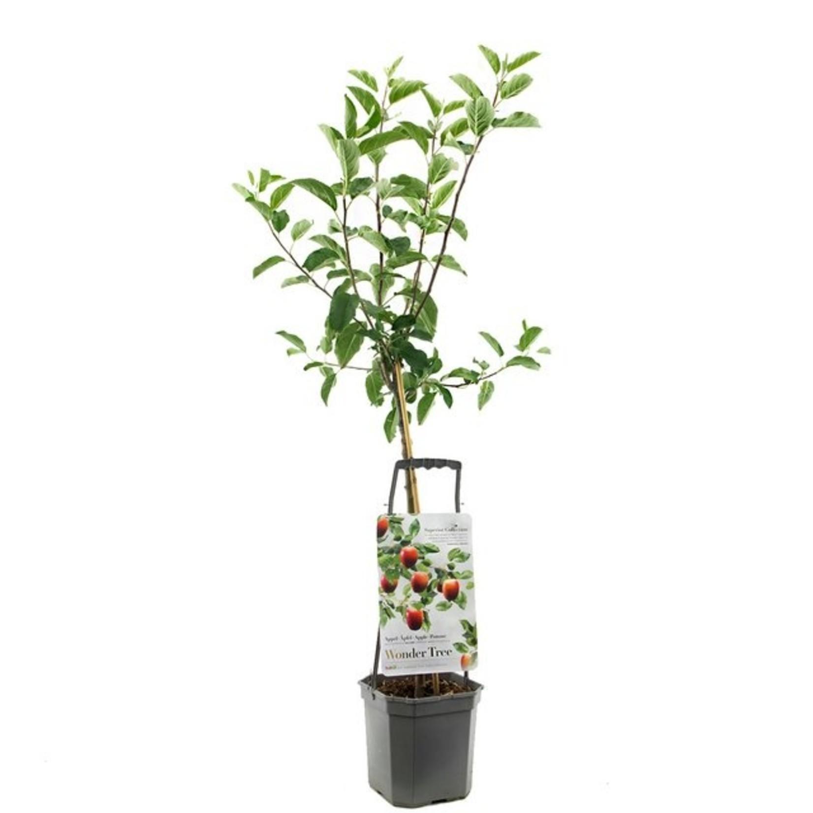 Wondertree Malus 'Delcorf' (handappel)