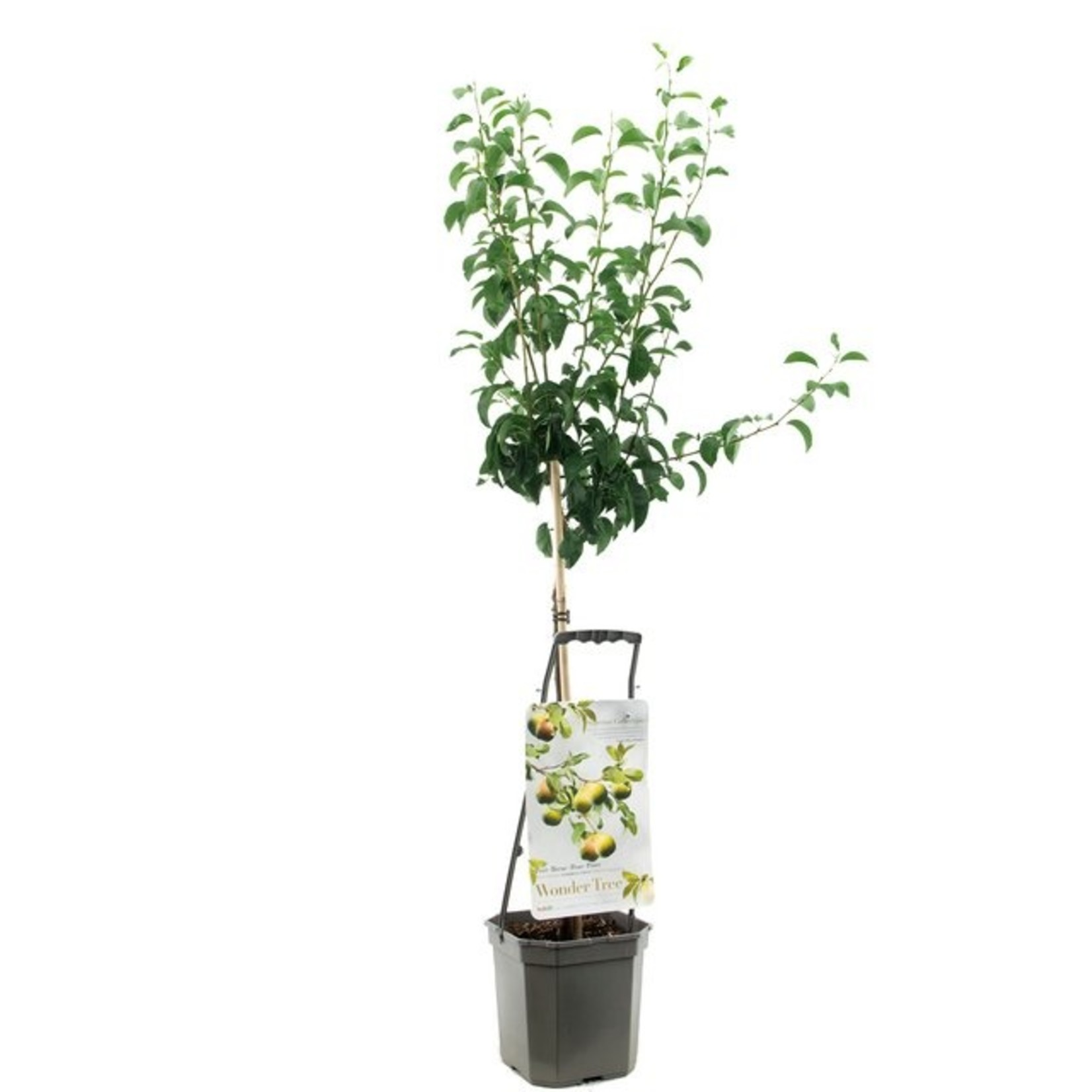 Wondertree Pyrus 'Doyenne du Comice' (handpeer)
