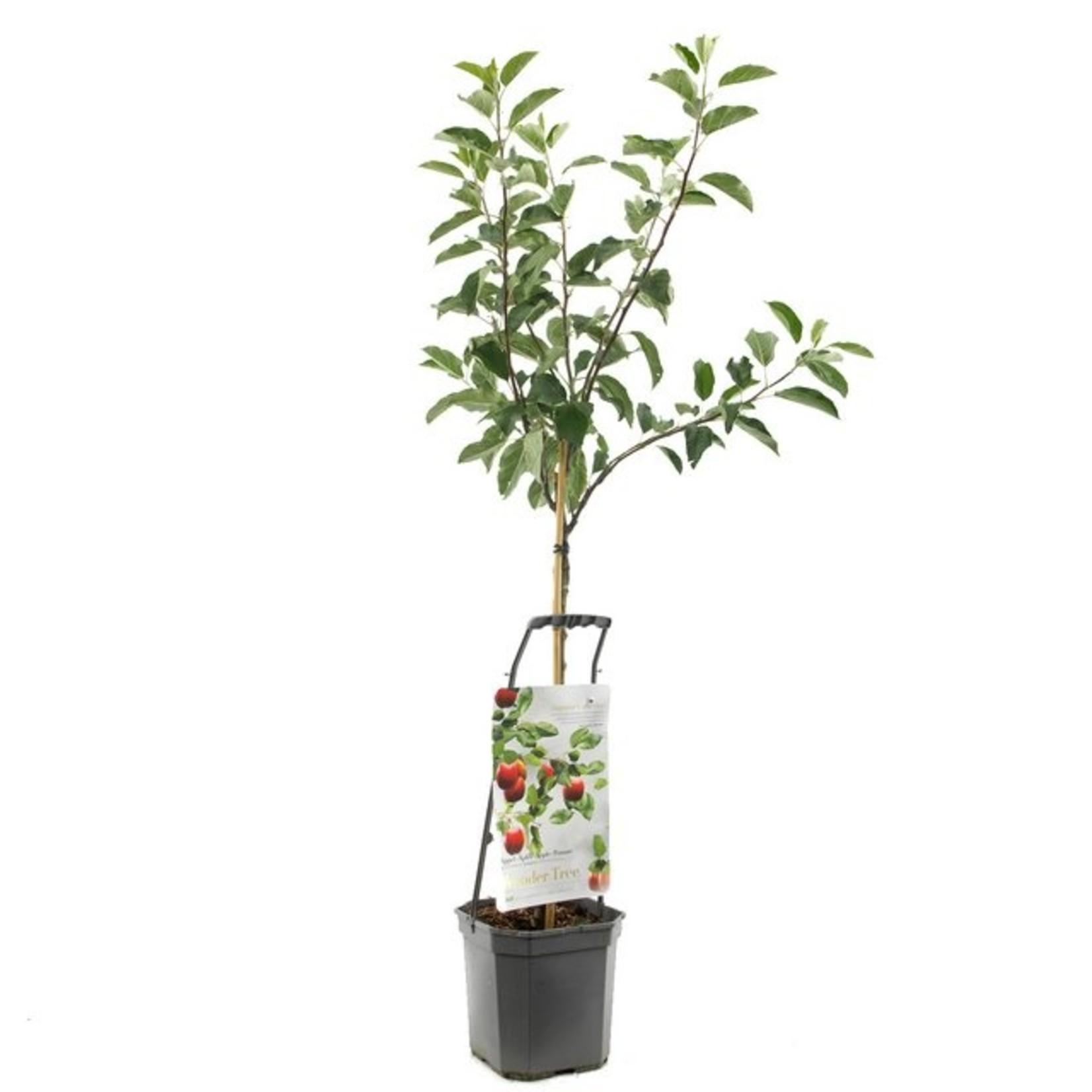 Wondertree Malus 'Ecolette' (handappel)