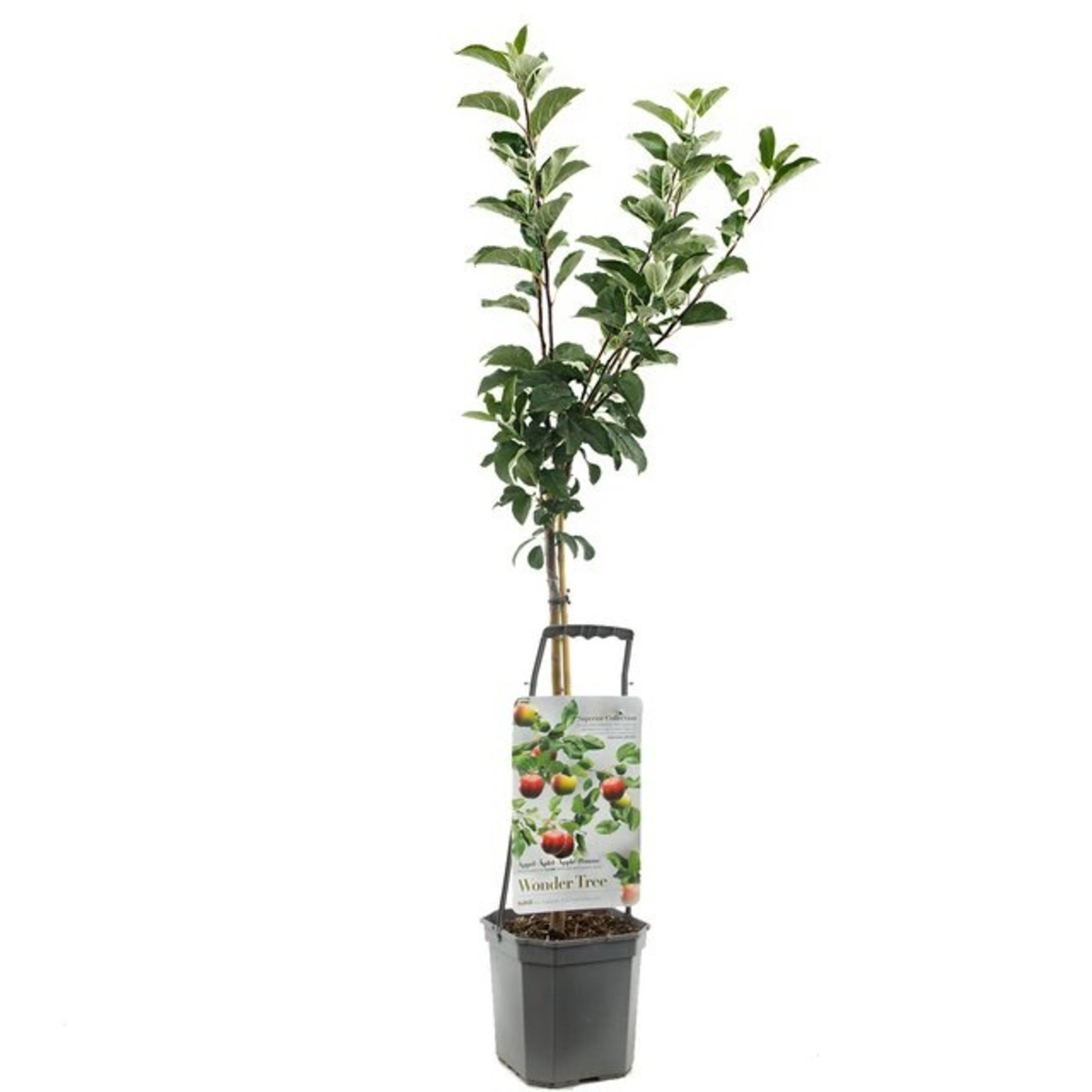 Wondertree Malus 'Elstar' (handappel)