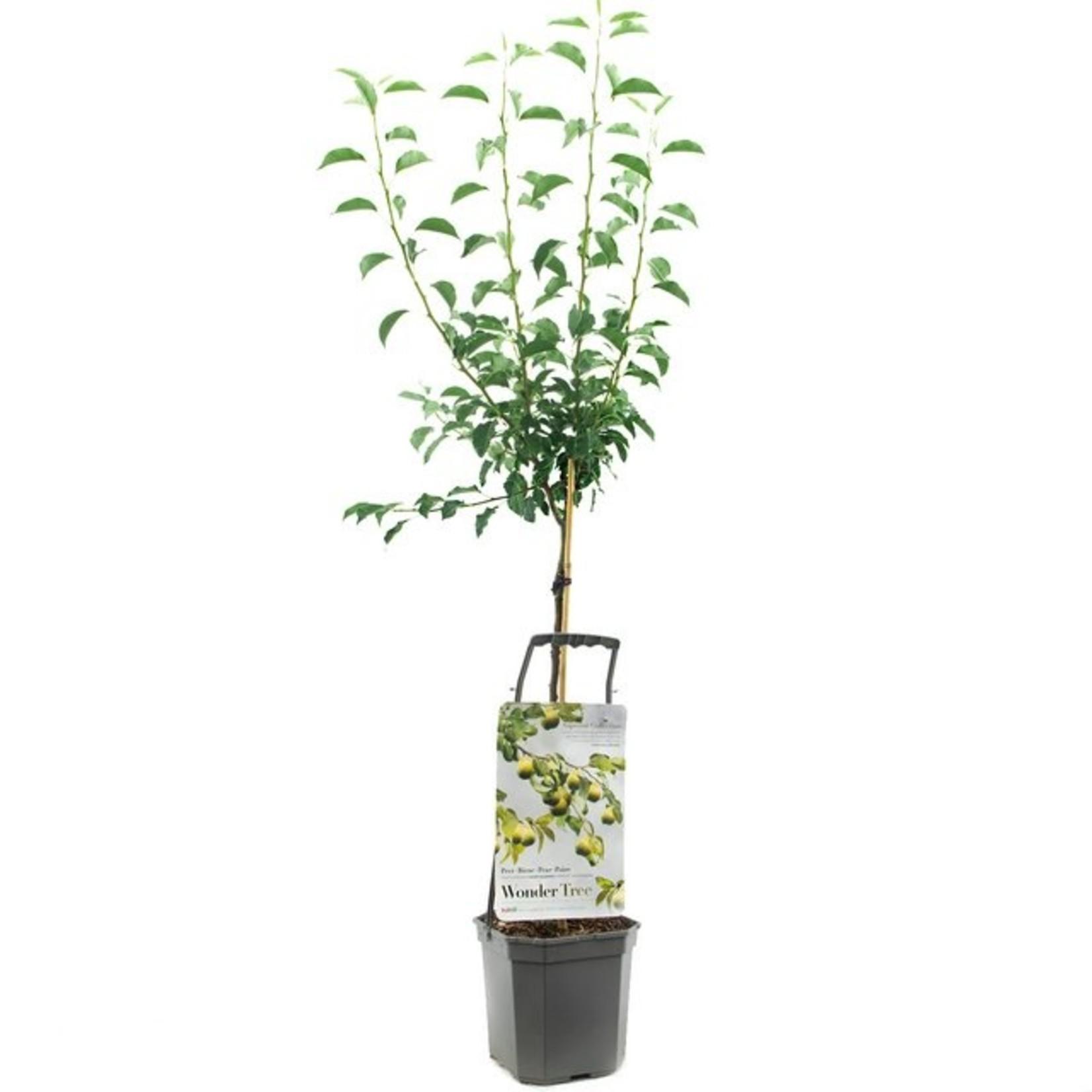 Wondertree Pyrus 'Gieser Wildeman' (stoofpeer)