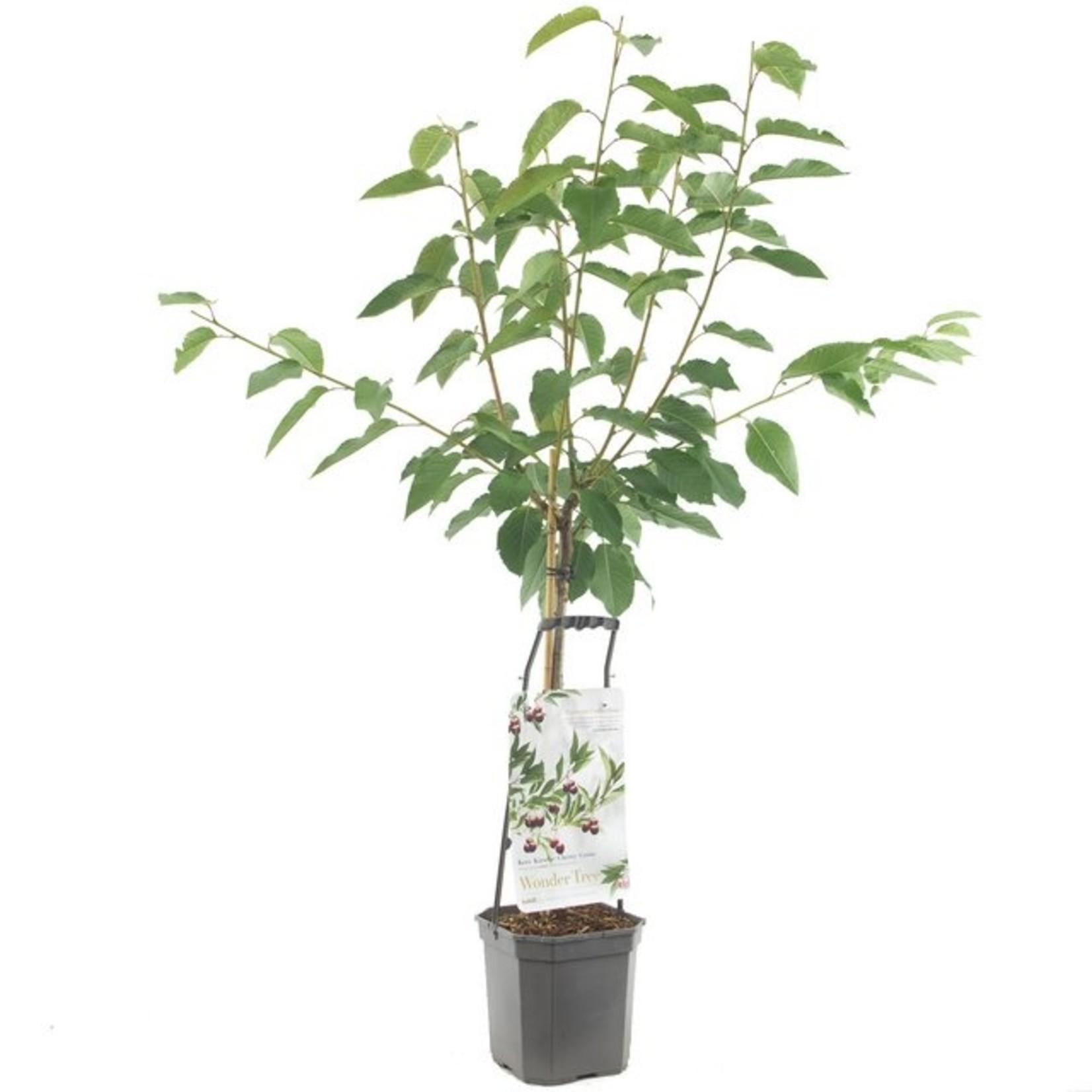 Wondertree Prunus 'Lapins' (Zoete kers)