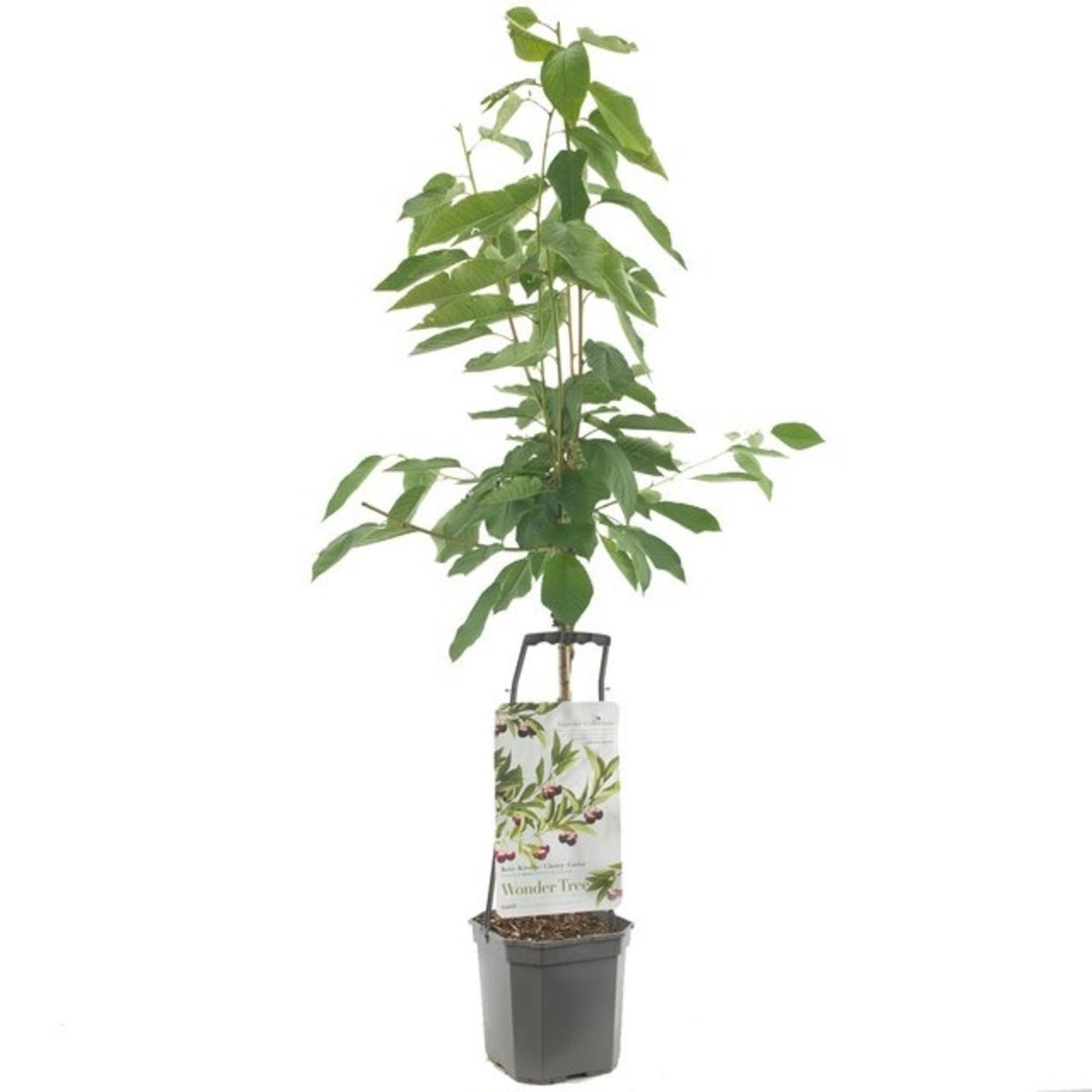 Wondertree Prunus 'Regina' (zoete kers)