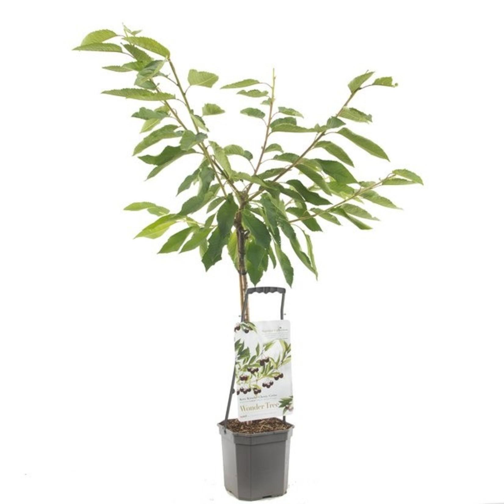 Wondertree Prunus 'Sunburst' (zoete kers)