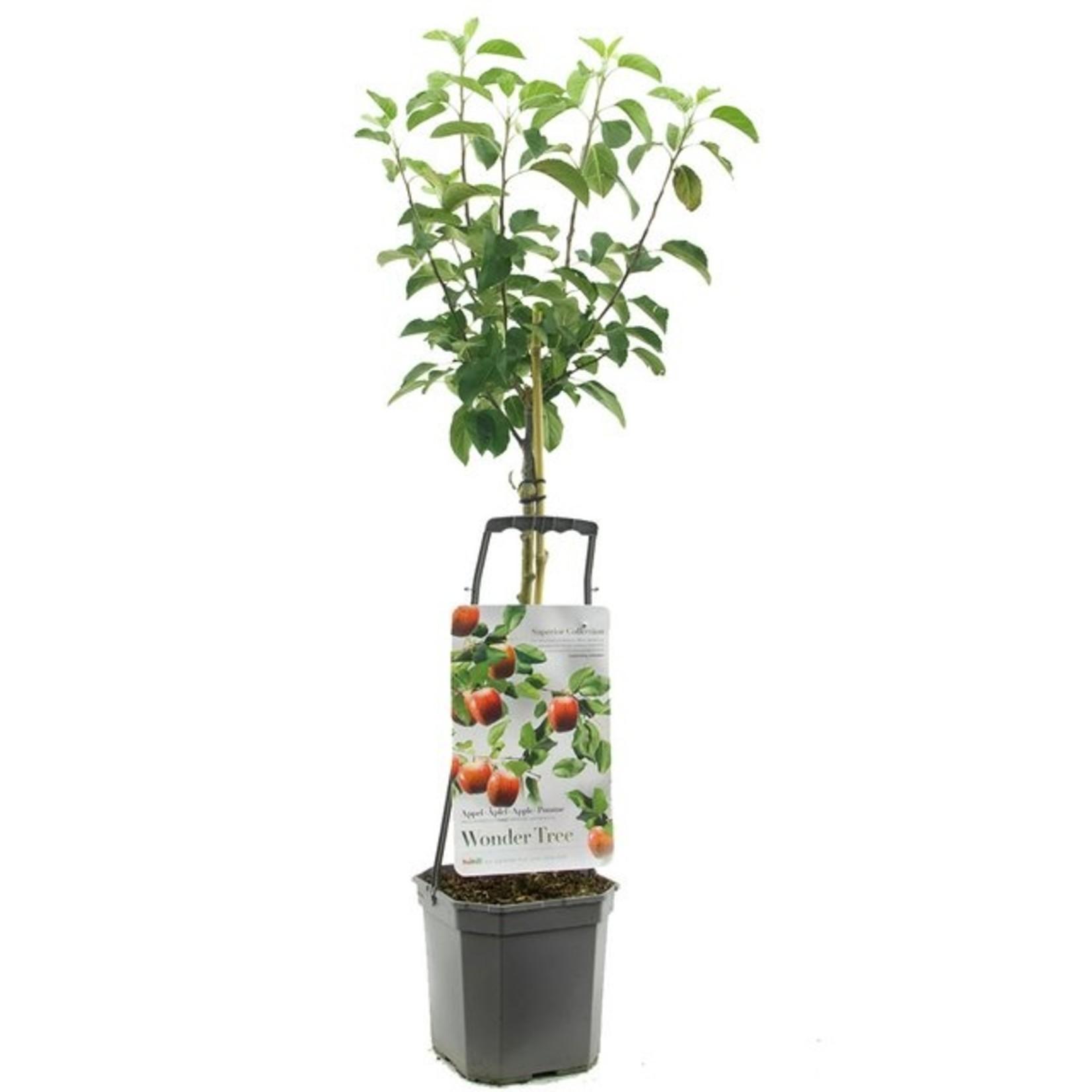 Wondertree Malus 'Topaz' (handappel)