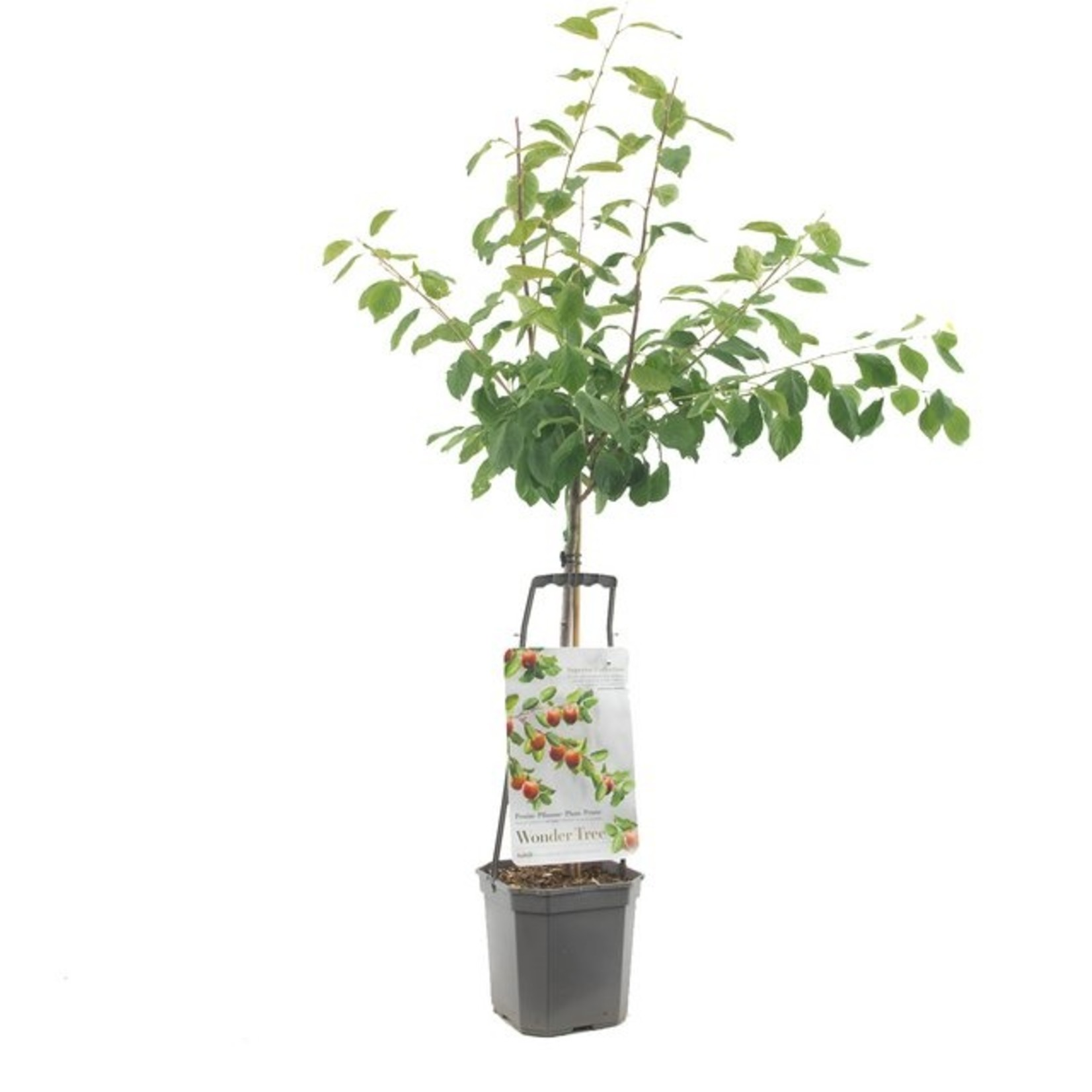 Wondertree Prunus 'Victoria' (pruim)