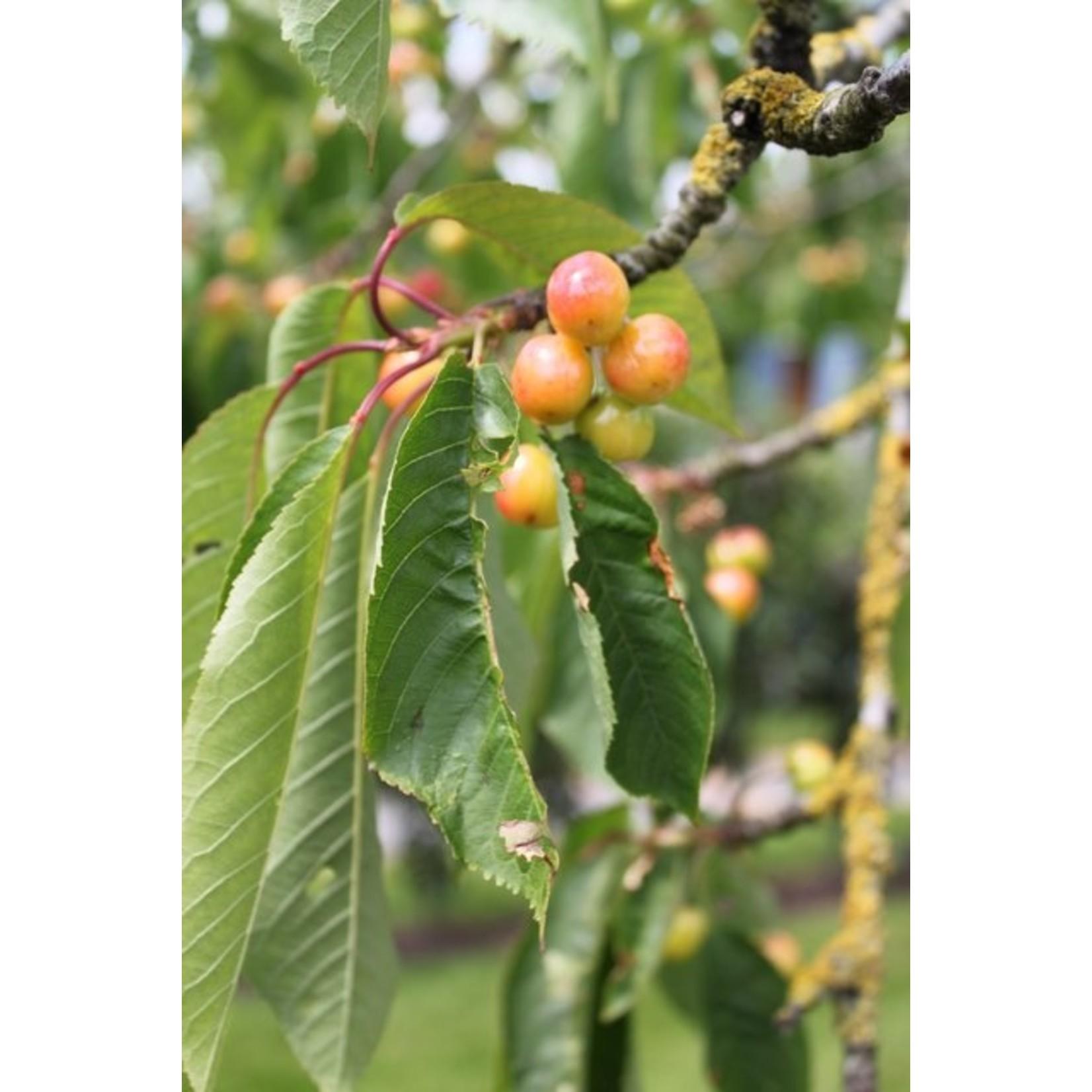 Hoogstam de Fruithof Prunus avium 'Stella' (Zoete kers)
