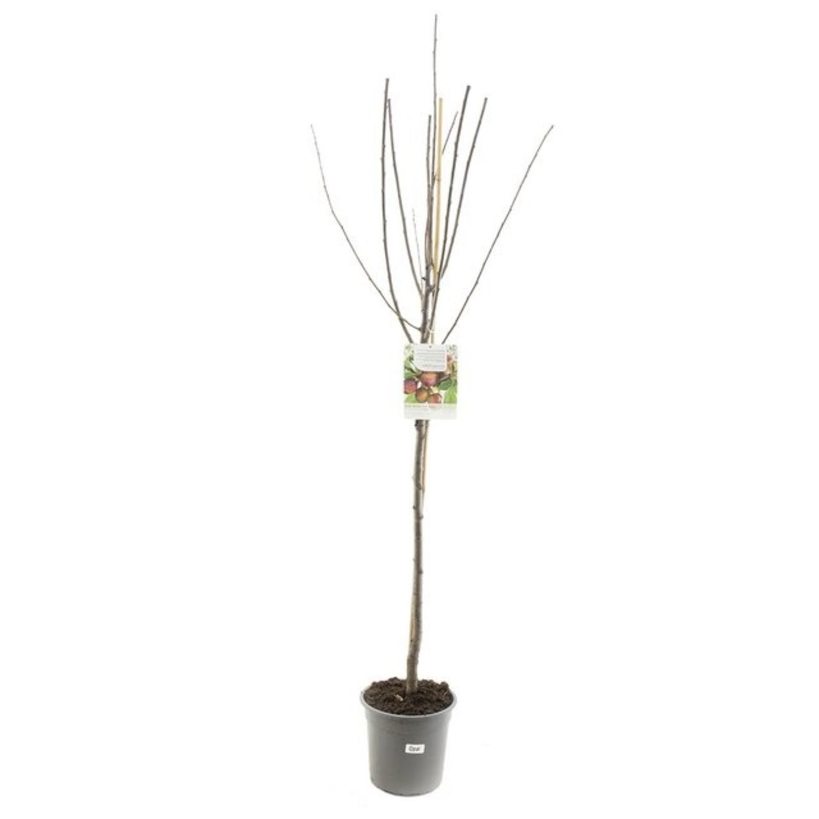 Hoogstam de Fruithof Prunus domestica 'Opal' (Pruim)