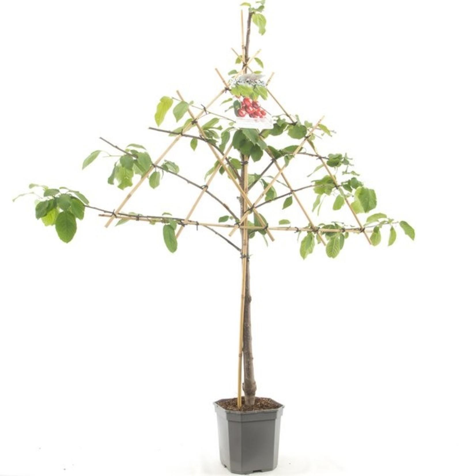 Leivorm de Fruithof Prunus avium 'Stella' (Zoete kers)