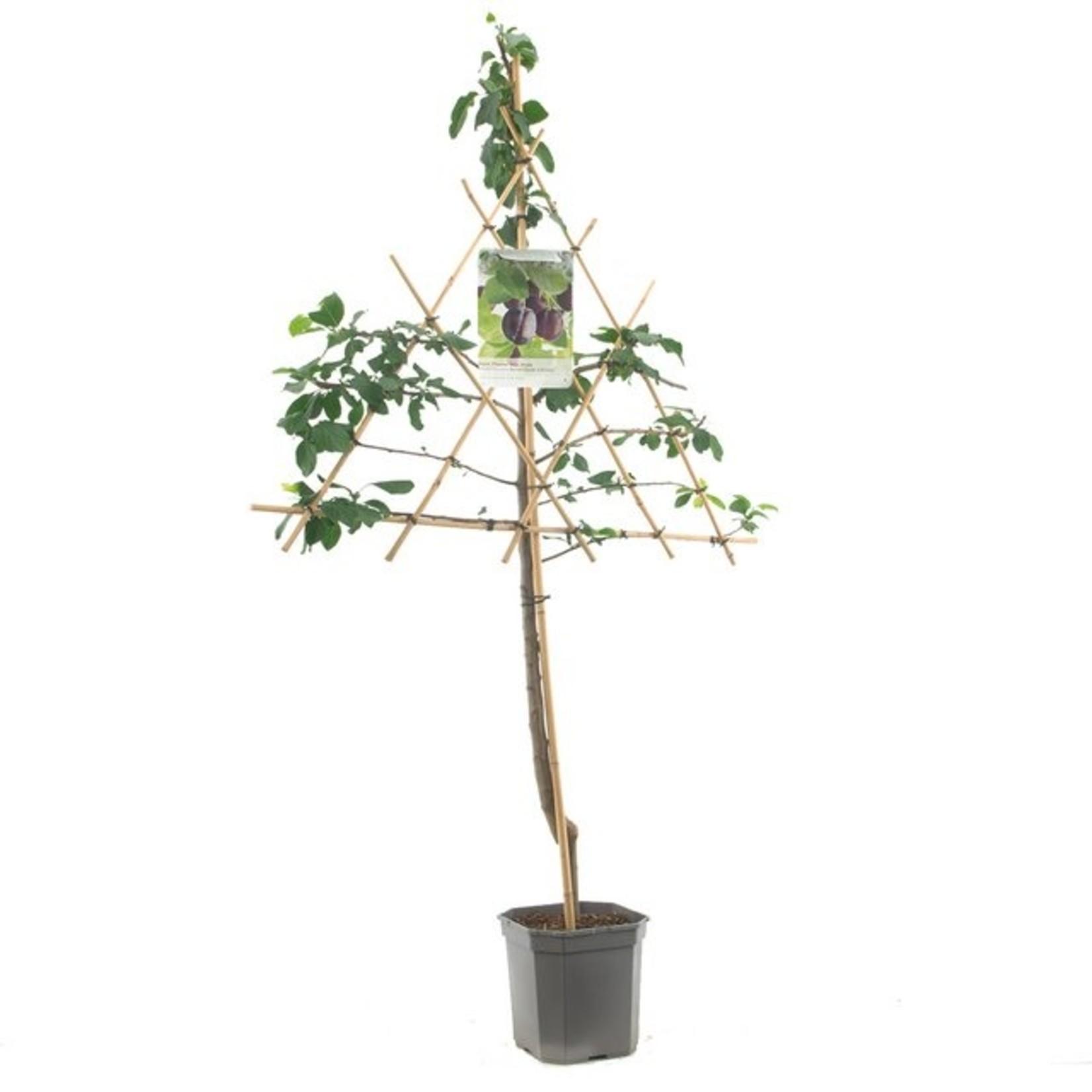 Leivorm de Fruithof Prunus domestica 'Reine Claude d'Althan'