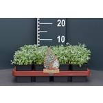 Cerastium tomentosum (Viltige Hoornbloem)