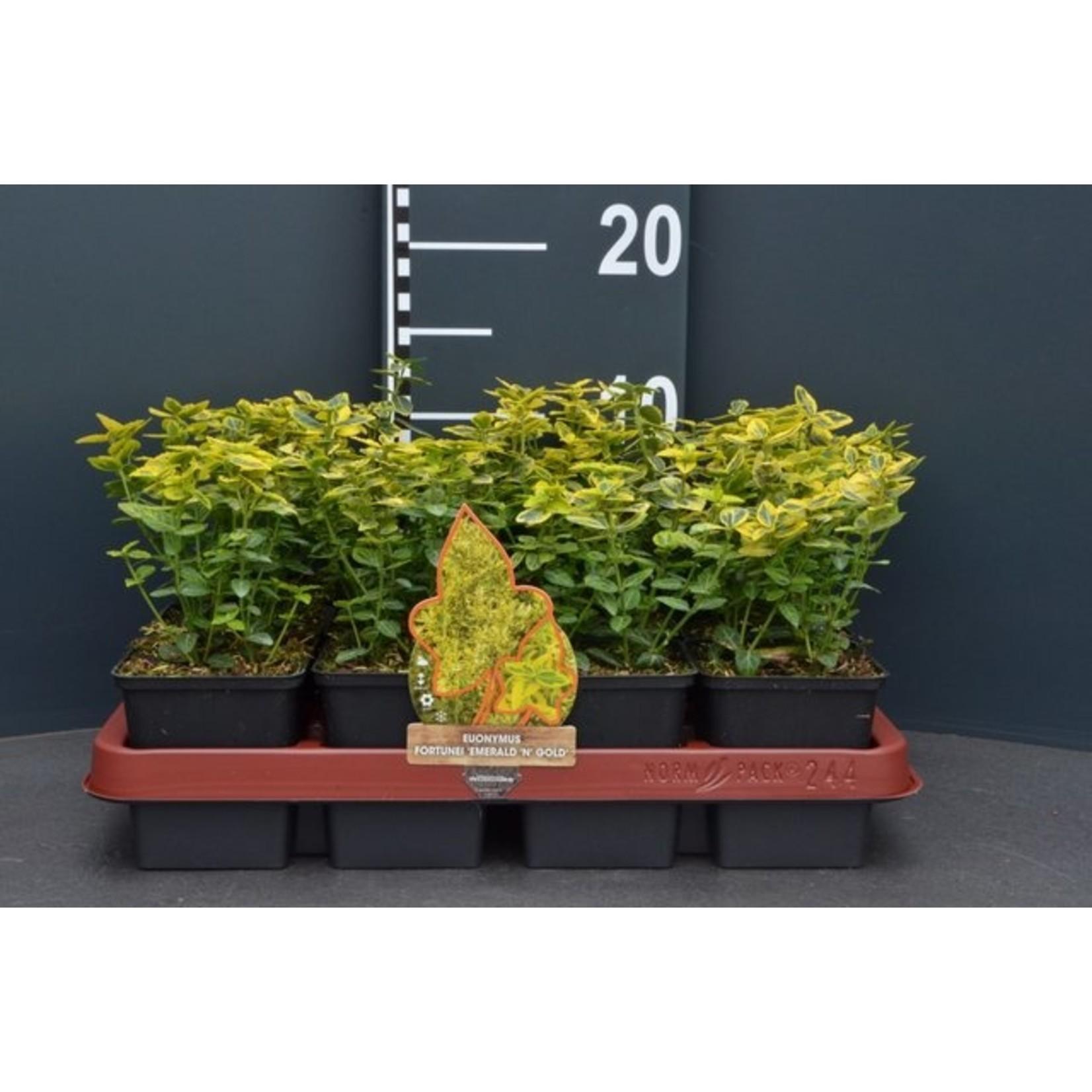 Euonymus fortunei 'Emerald 'n Gold' (geelbontbladige Kardinaalsmuts)