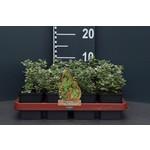 Euonymus fortunei 'Emerald Gaiety' (bontbladige Kardinaalsmuts)