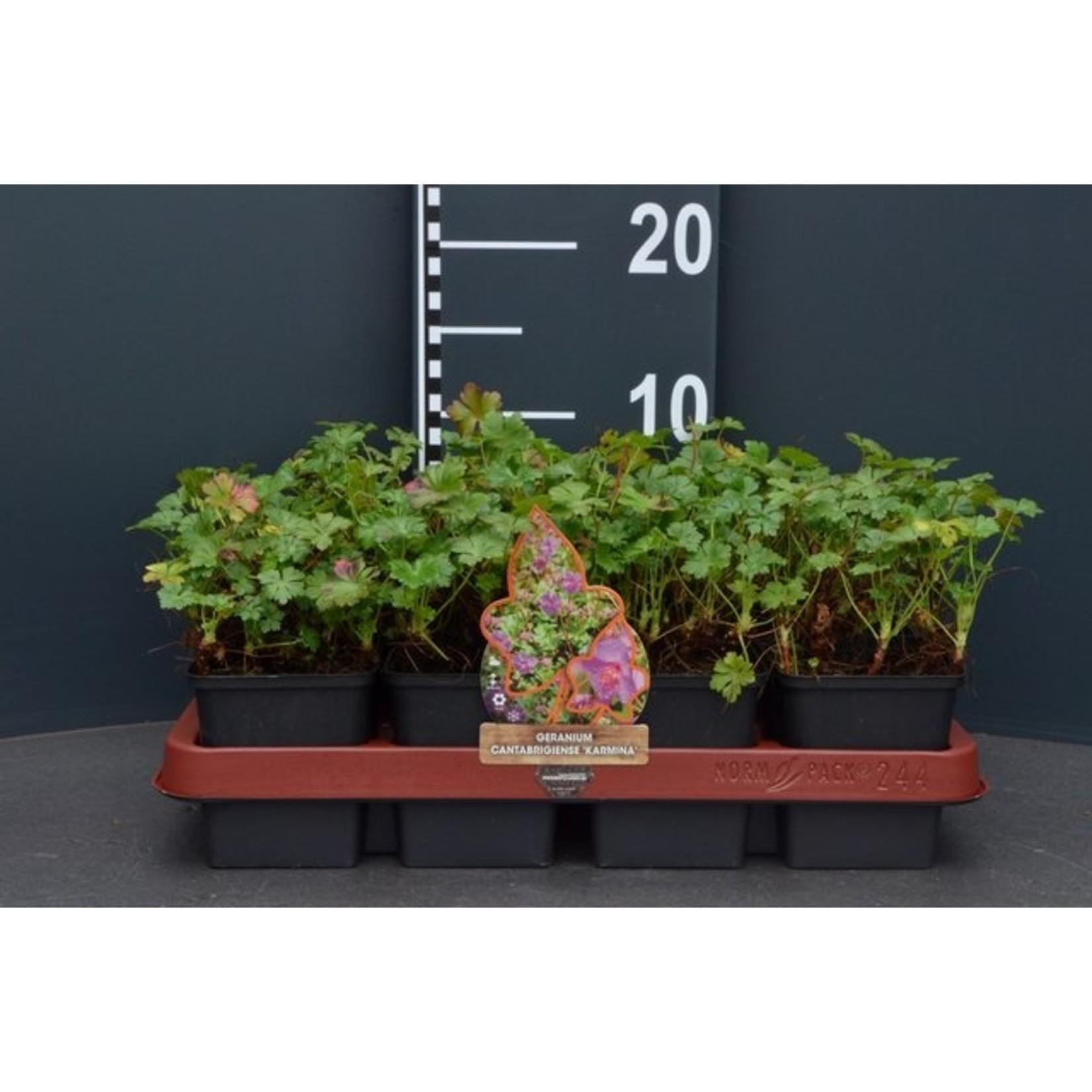 Geranium cantabrigiense 'Karmina' (Ooievaarsbek)