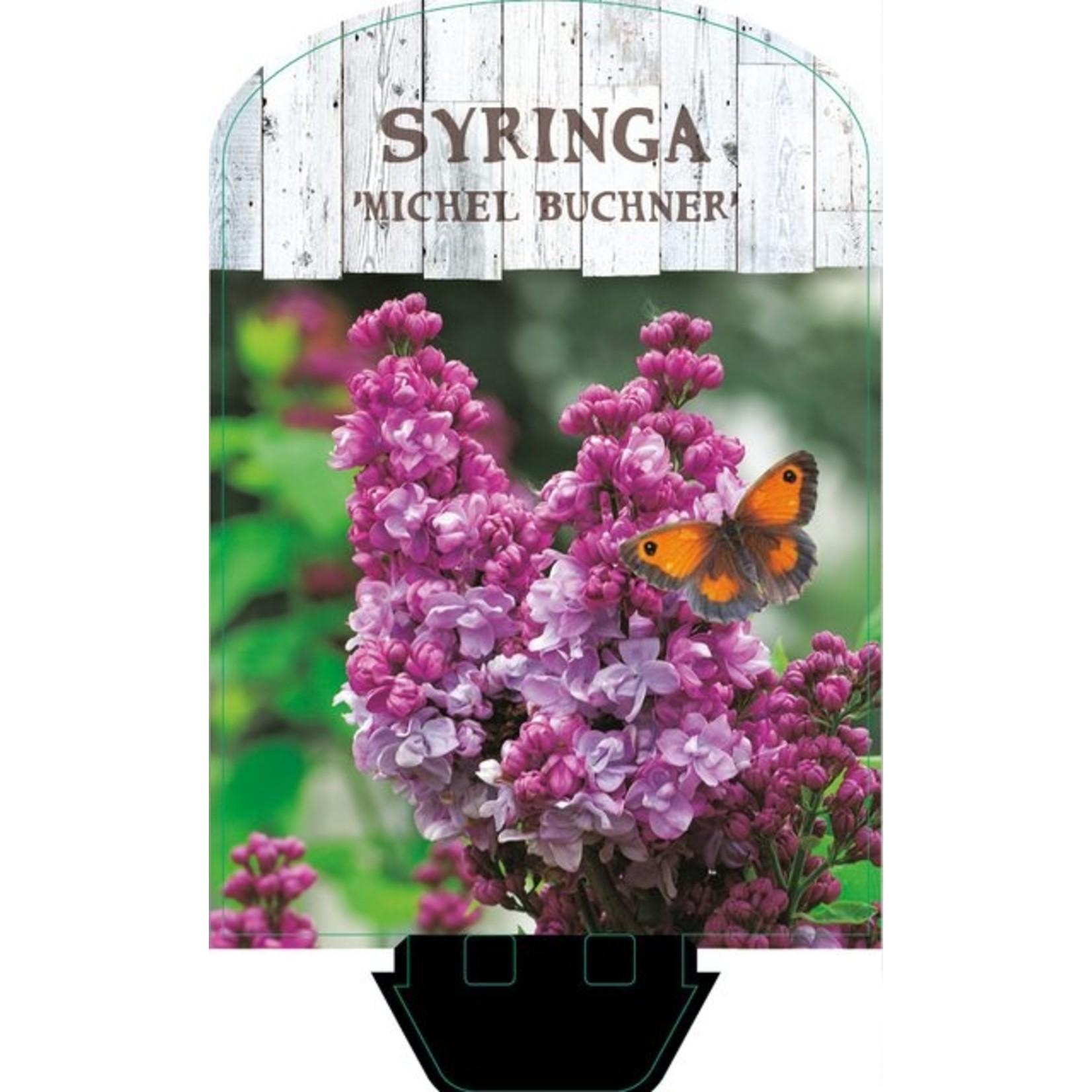 Syringa vulgaris 'Michel Buchner' (Sering)