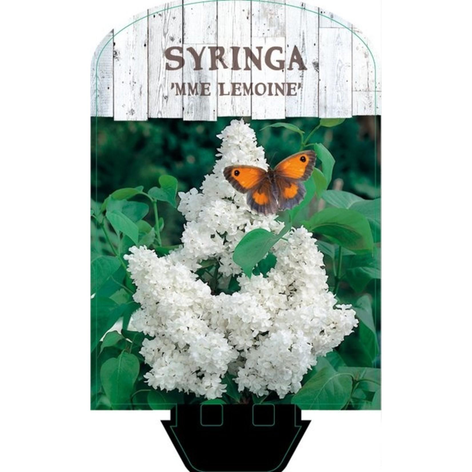 Syringa vulgaris 'Mme Lemoine' (Sering)
