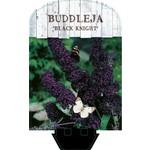 Buddleja davidii 'Black Knight' (Donkerpaarse Vlinderstruik)