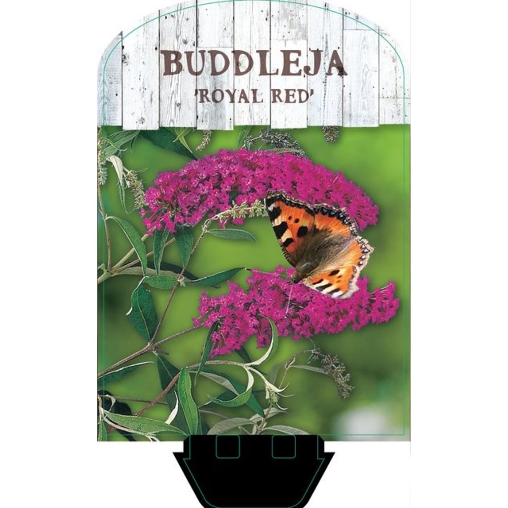 Buddleja davidii 'Royal Red' (Vlinderstruik)