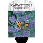 Caryopteris clandonensis 'Heavenly Blue' (Blauwbaard)