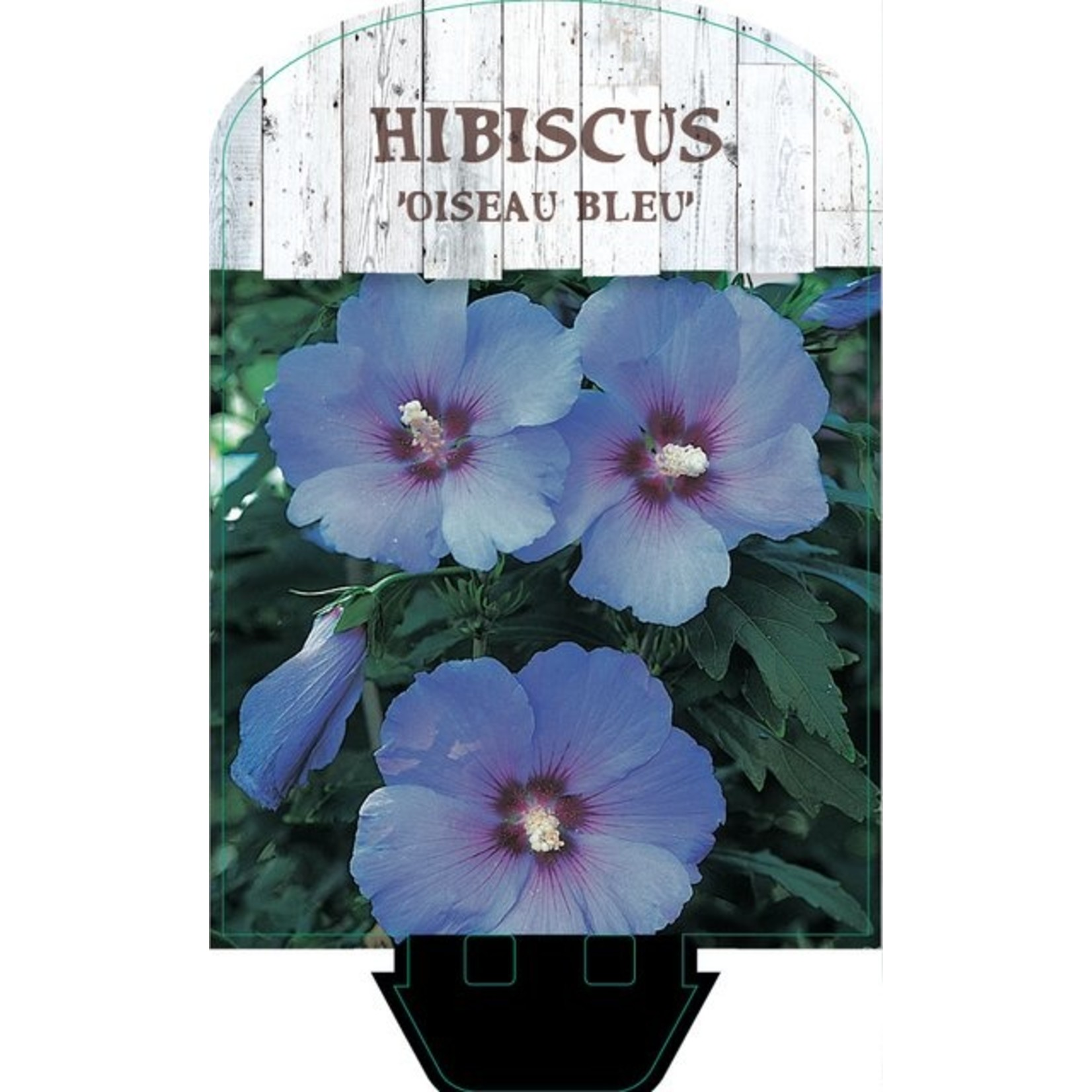 Hibiscus syriacus 'Oiseau Blue' (Chinese roos of Altheastruik)