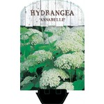 Hydrangea arorescens 'Annabelle'