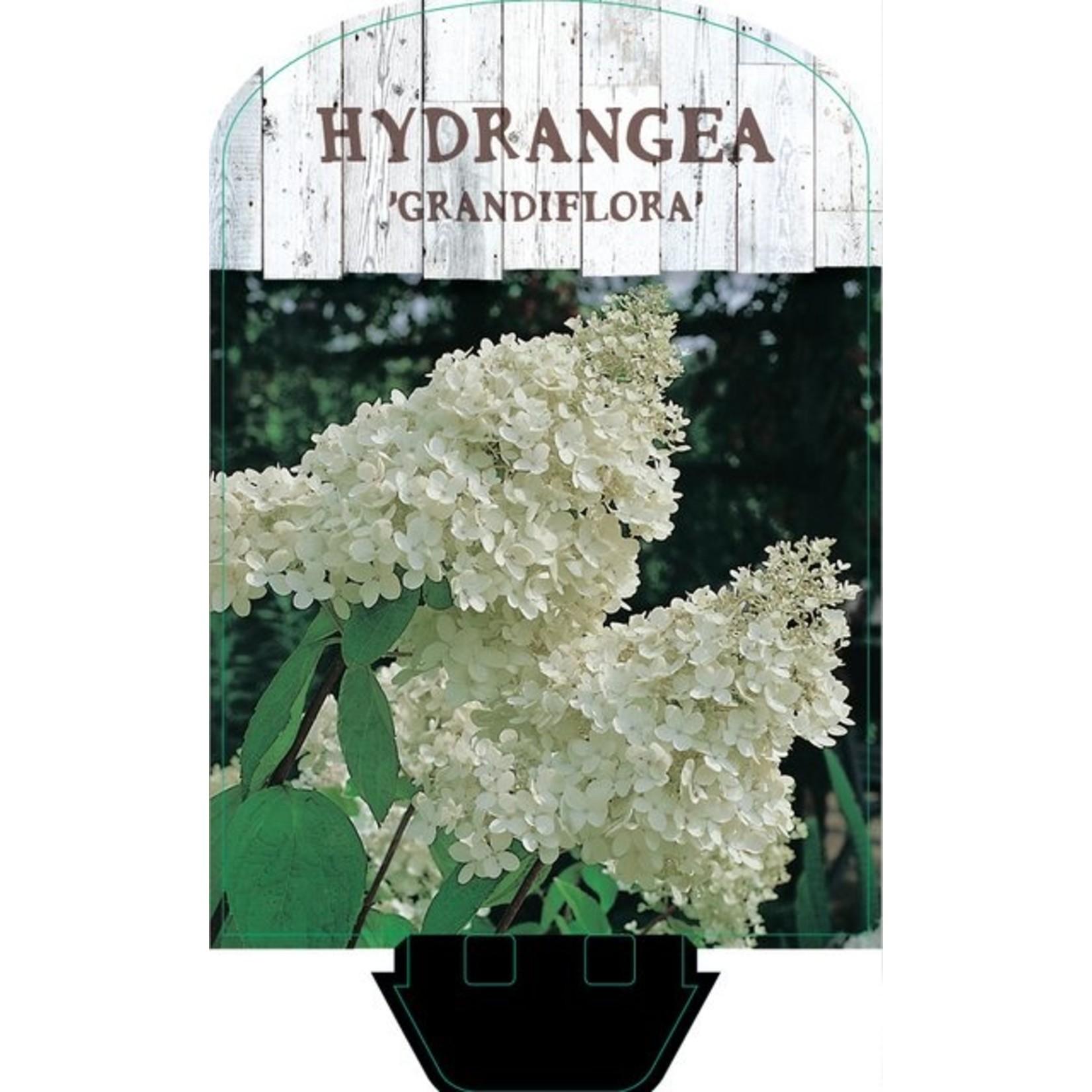 Hydrangea paniculata 'Grandiflora' (Pluimhortensia)