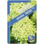 Hydrangea paniculata 'Limelight' (Pluimhortensia)