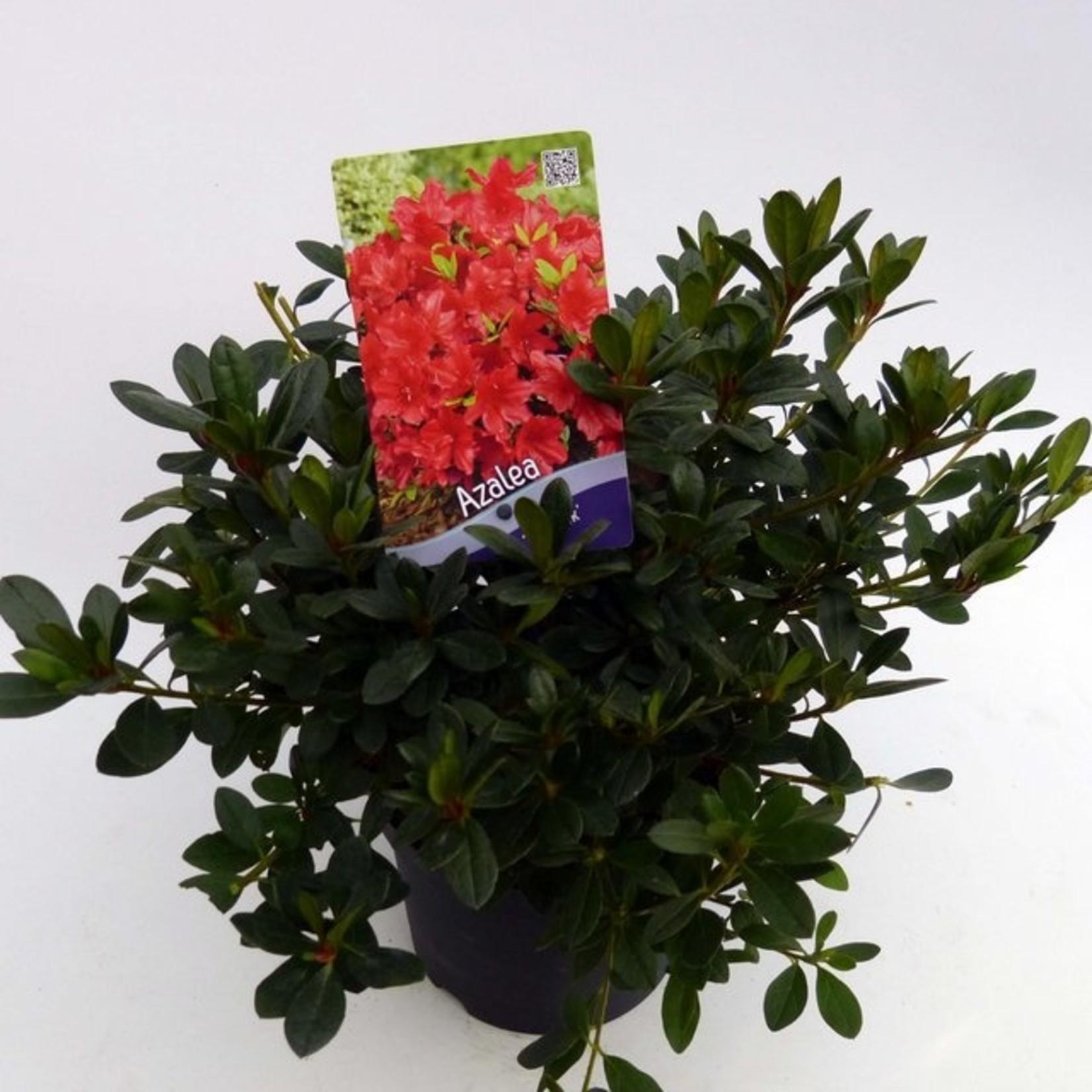 Rhododendron 'Arabesk'