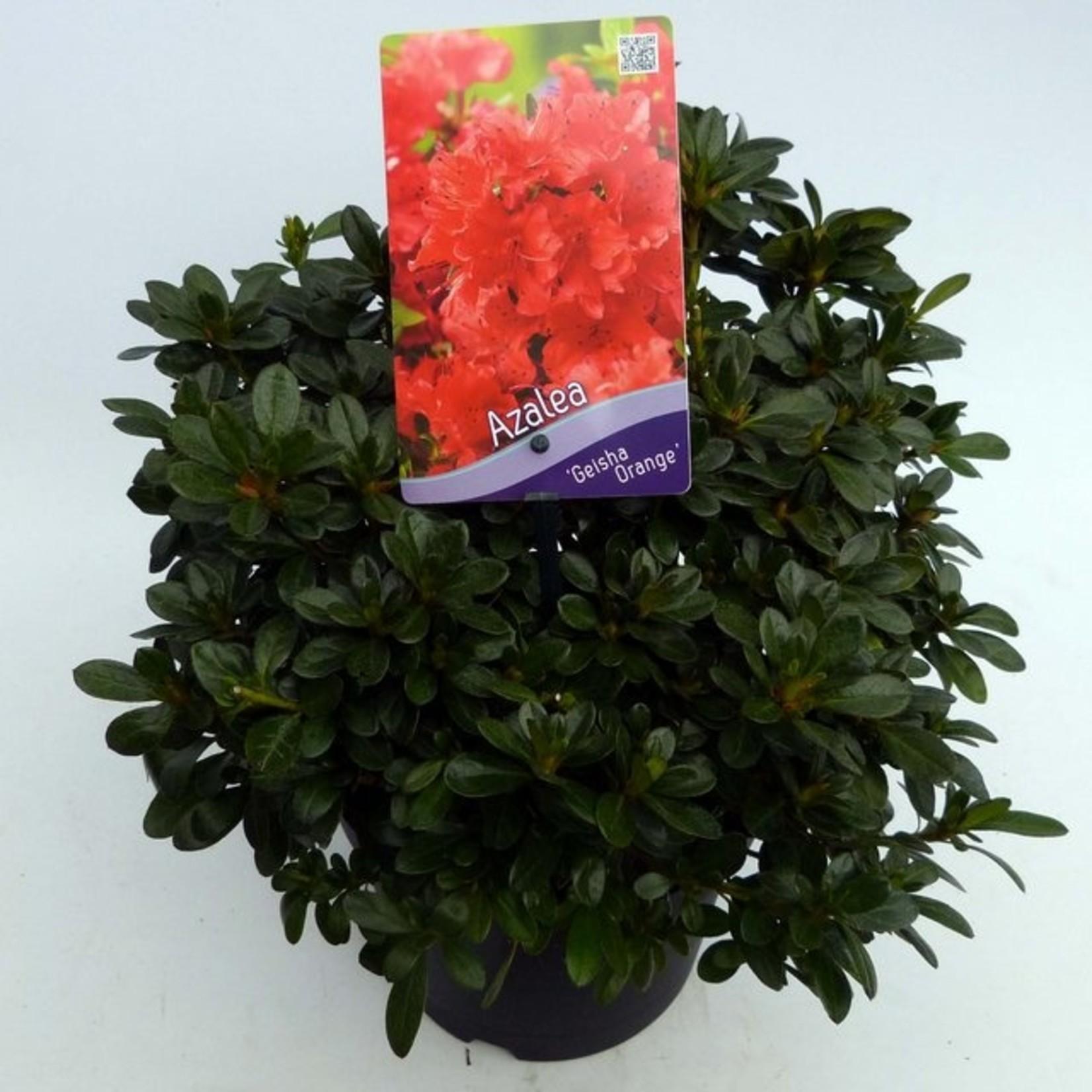 Rhododendron 'Geisha Orange'