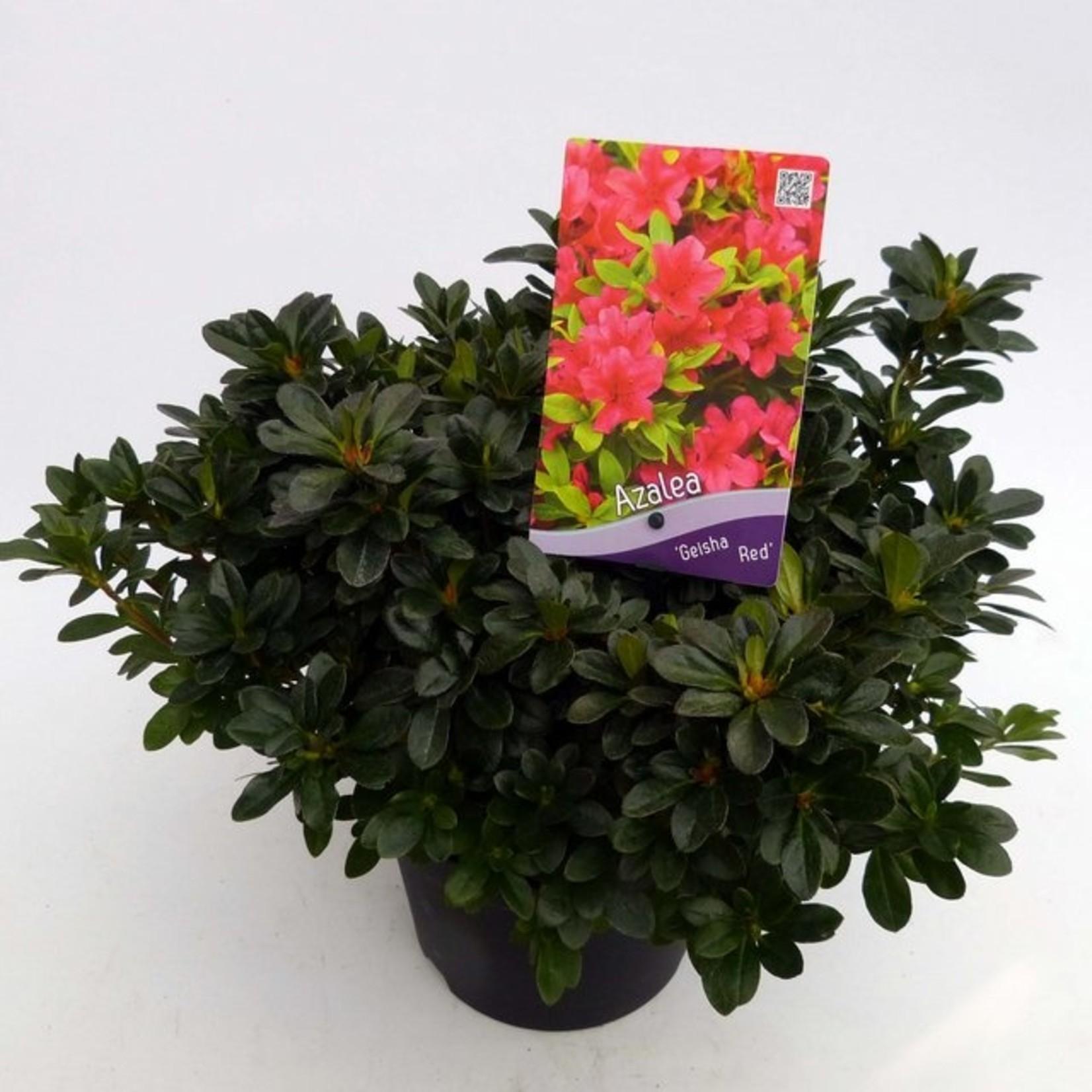 Rhododendron 'Geisch Red'