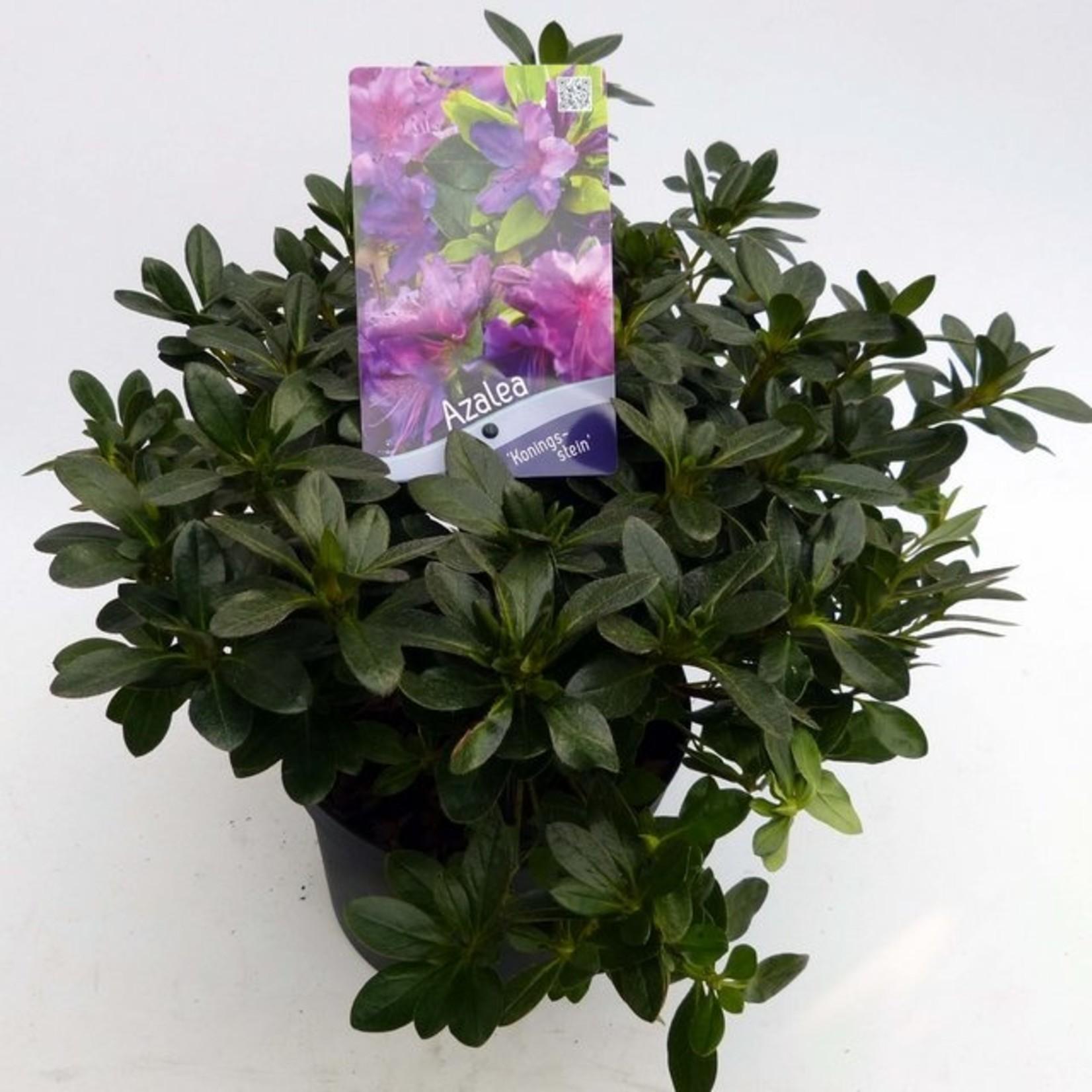 Rhododendron 'Koningsstein'