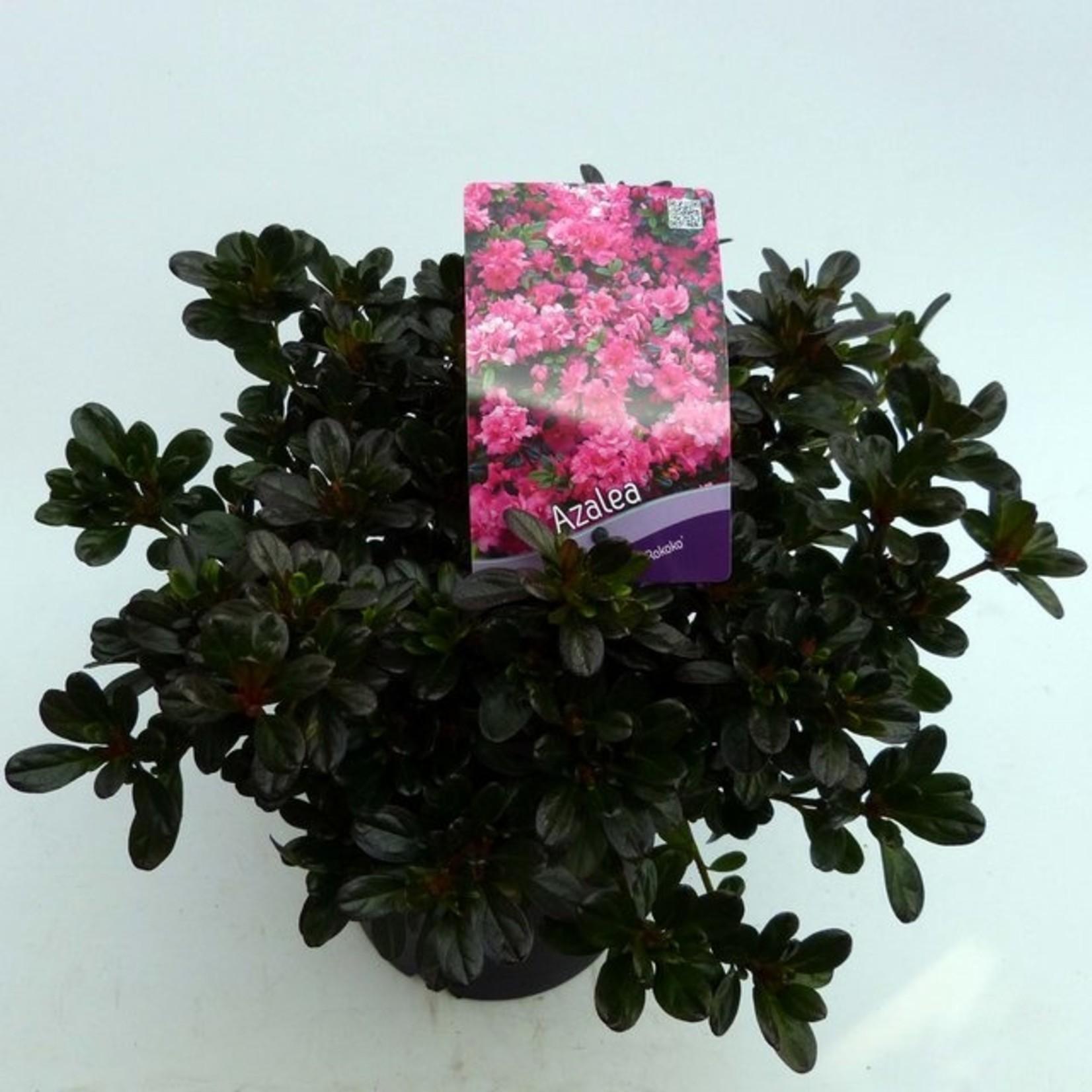 Rhododendron 'Rokoko'