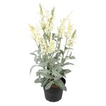 Grand Illusions Veronica in Pot White h46cm