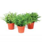 Grand Illusions Mini Herb in Pot Mix