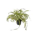 Grand Interiors Spider Plant in Pot