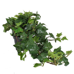 Grand Illusions Trailing Ivy in Pot 60cm