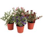 Grand Interiors Mini Flower in Pot Mix h14cm