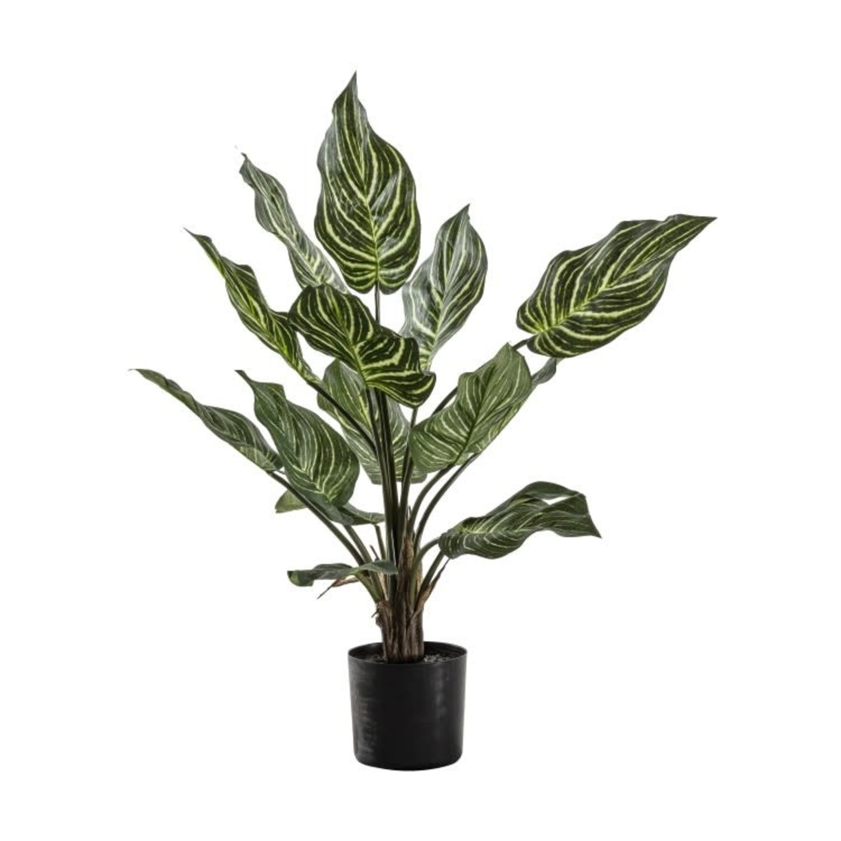GD Calathea with 15 Leaves