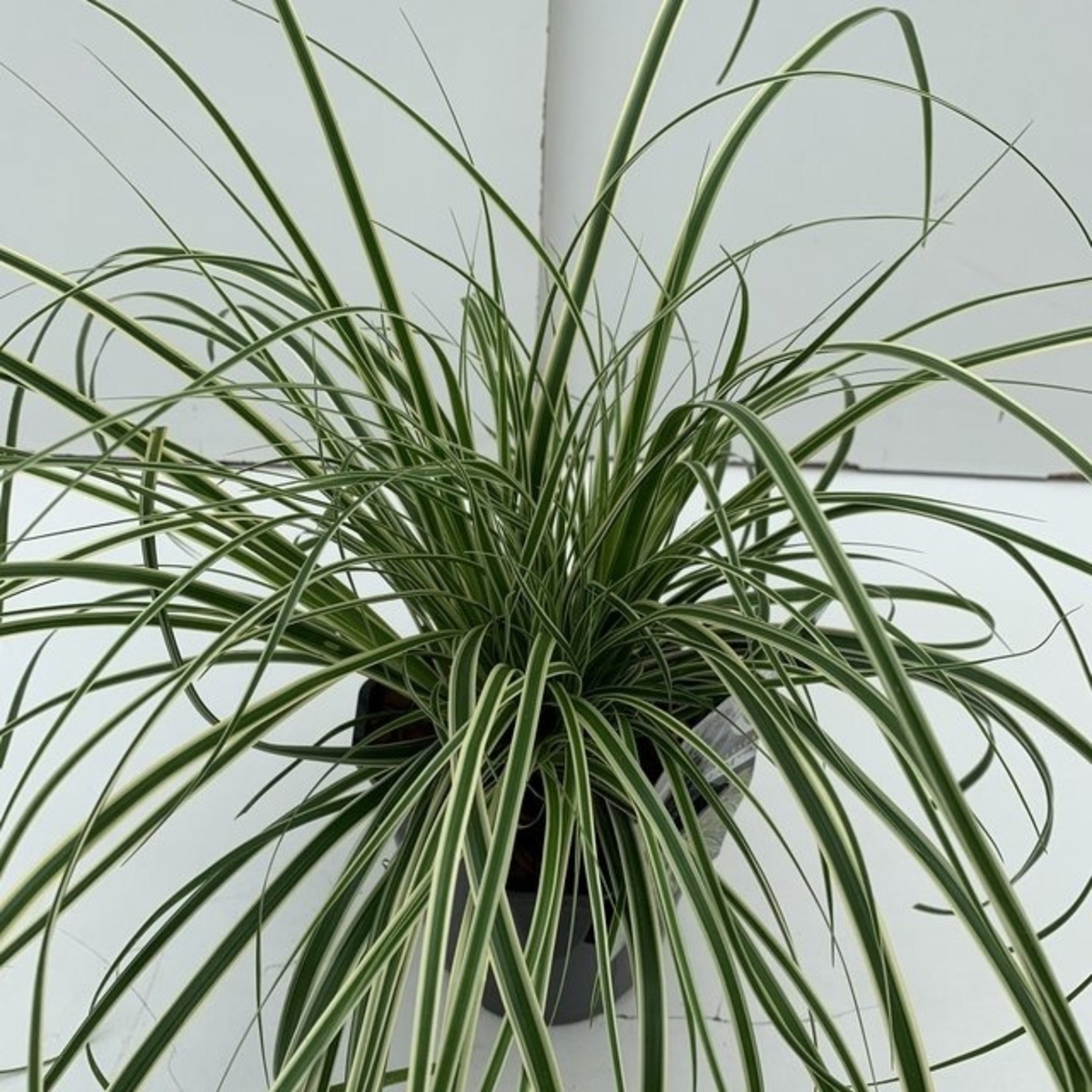 Decor Ornamental Grasses vp2L Carex oshimensis 'Evercream' (bontbladige zegge)