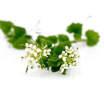 Dutch Wasabi Dutch Wasabi® Flowers
