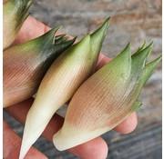 Dutch Wasabi Myoga bulbs