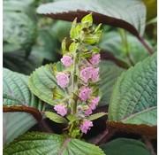 Dutch Wasabi Pink Shiso Flower