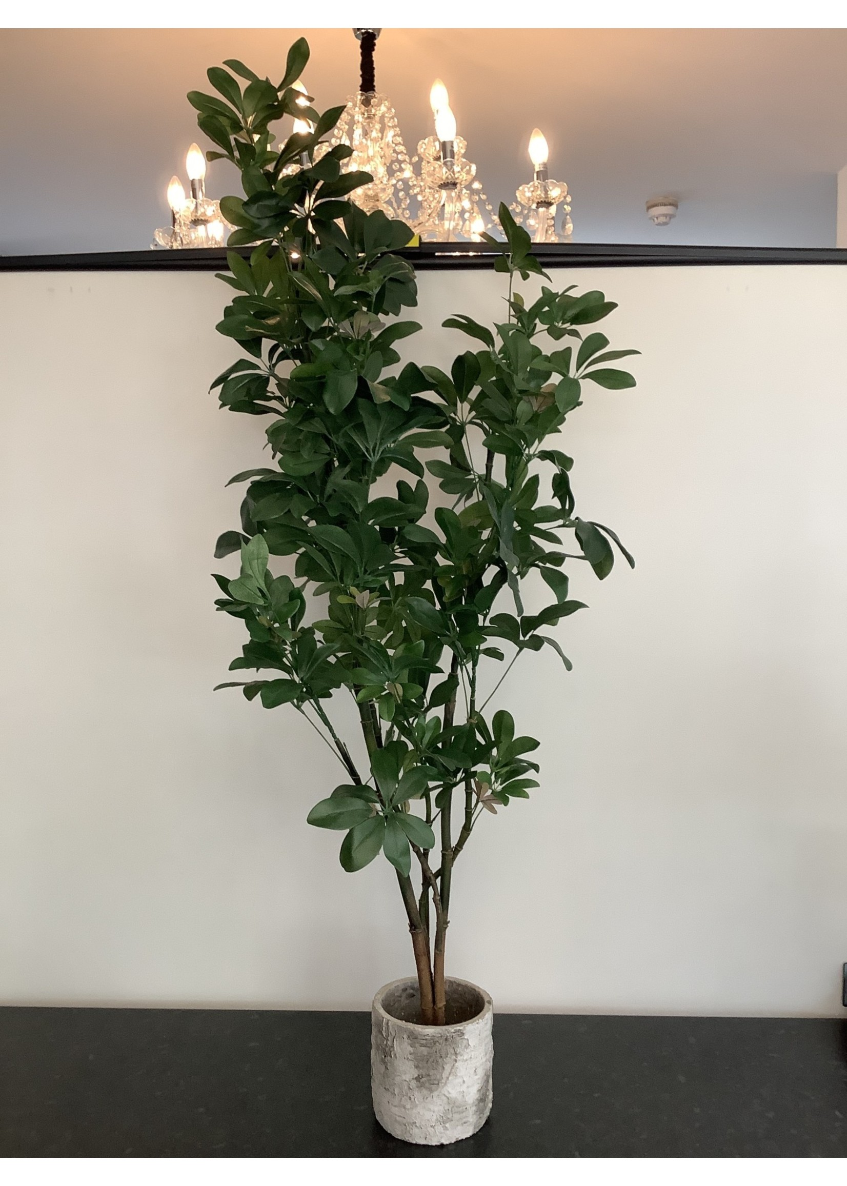 Baby Schefflera 786l 122cm tall in pot