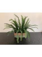 fern in terracotta planter 25cm long x 45cm tall