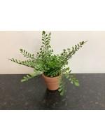 Small fern in pot 10x12cm